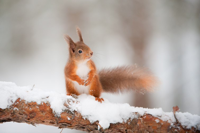 Red squirrel (Sciurus vulgaris) on pine branch in snow, Scotland, December