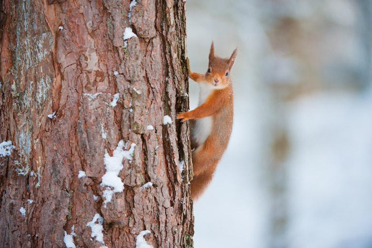 Red squirrel (Sciurus vulgaris) scaling pine tree in snow, Scotland, December