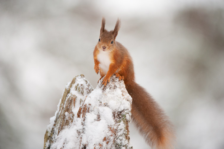 Red squirrel (Sciurus vulgaris) on pine stump in snow, Scotland, December