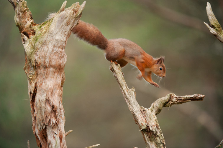 Red squirrel (Sciurus vulgaris) jumping across pine stump, Scotland, November