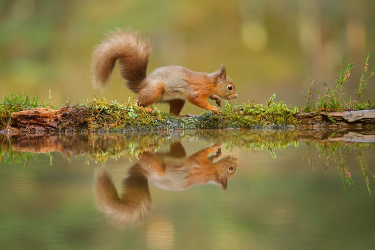 Red squirrel (Sciurus vulgaris) at woodland pool, Cairngorms National Park, Scotland, UK