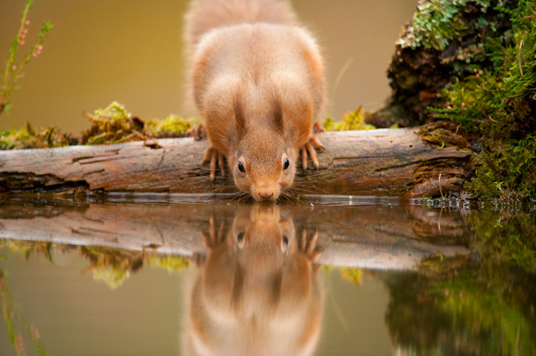 Red squirrel (Sciurus vulgaris) drinking at woodland pool, Scotland, November