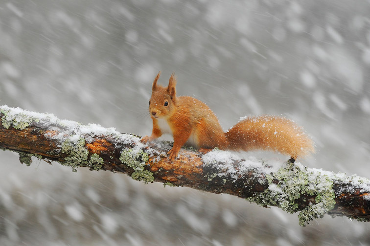 Red squirrel (Sciurus vulgaris) adult on log in woodland in snow, Scotland, February