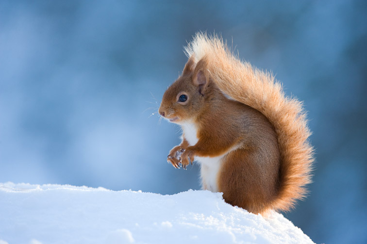 Red Squirrel (Sciurus vulgaris) adult in snow, Cairngorms National Park, Scotland, February