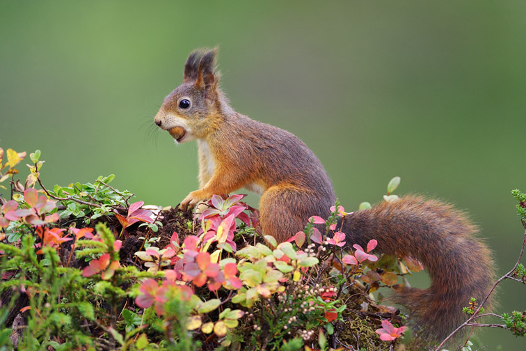 Red Squirrel (Sciurus vulgaris) on autumnal hummock on woodland floor. Norway. September 2005