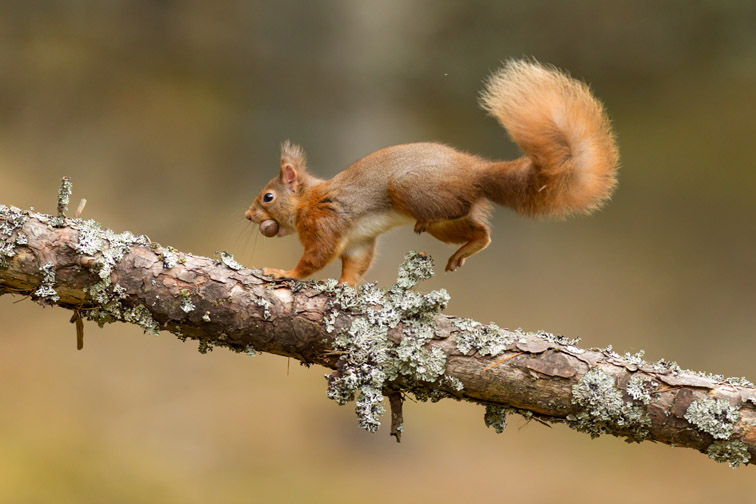 Red Squirrel (Sciurus vulgaris) running along branch.