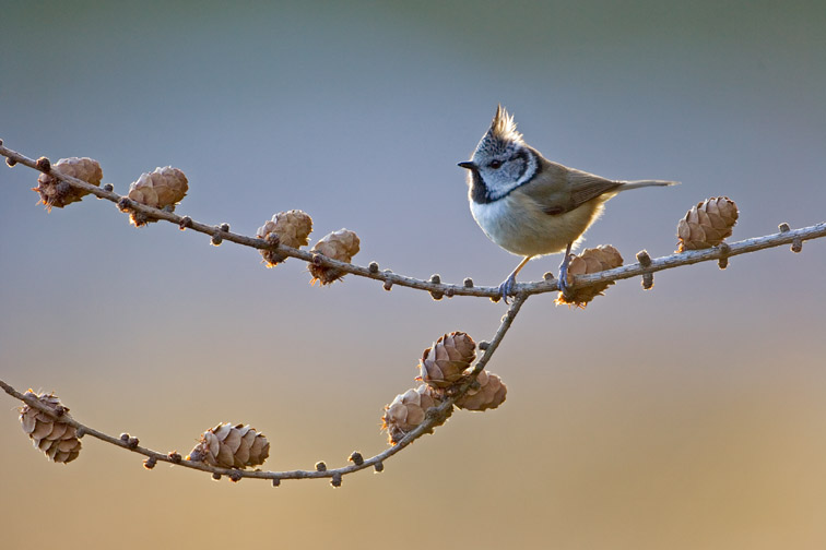 Crested Tit (Parus cristatus) adult perched on larch cones. Scotland.
