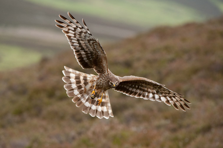 Hen harrier Circus cyaneus, adult female in flight approaching nest with food for chicks, Glen Tanar Estate, Scotland, June