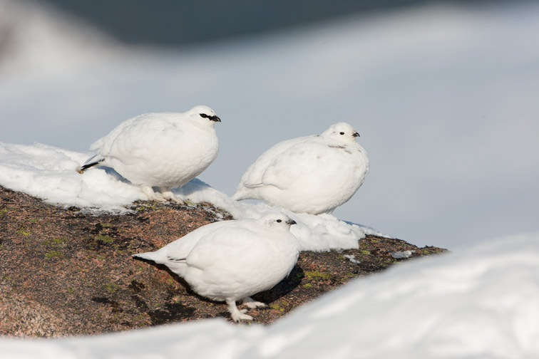 Ptarmigan (lagopus mutus) three perched on rock in winter plumage, Cairngorms, Scotland, February