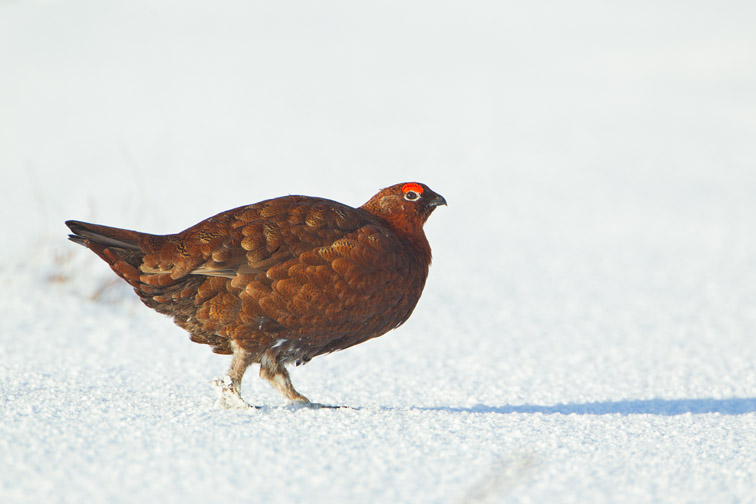 Red grouse Lagopus lagopus scoticus, male on snow-covered moorland, Scotland, UK