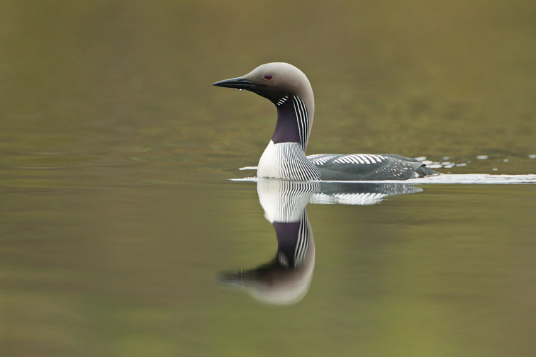 Black-throated Diver (Gavia arctica) adult on lake showing plumage on neck