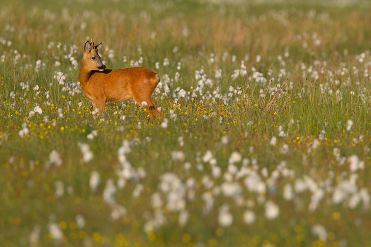 Roe deer buck(Capreolus capreolus) in wet meadow in summer , Cairngorms National Park, Scotland, UK