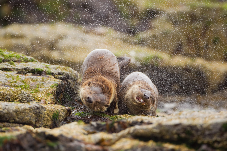 European otter (Lutra lutra) female and cub shaking water from coats, Shetland, UK, June
