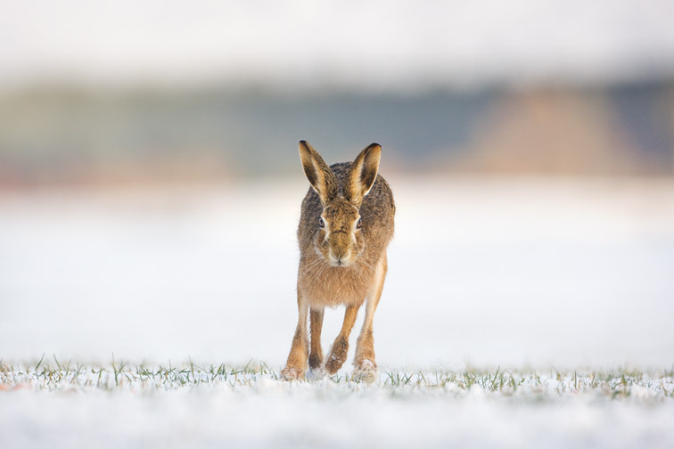 Brown hare Lepus capensis running across field in snow. Scotland. March.