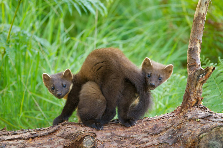 Pine marten Martes martes, two youngsters entwined on log in forest, Beinn Eighe NNR, Scotland, July