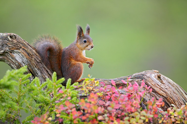 Red Squirrel (Sciurus vulgaris) on fallen log in autumnal pine forest. Norway. September 2005