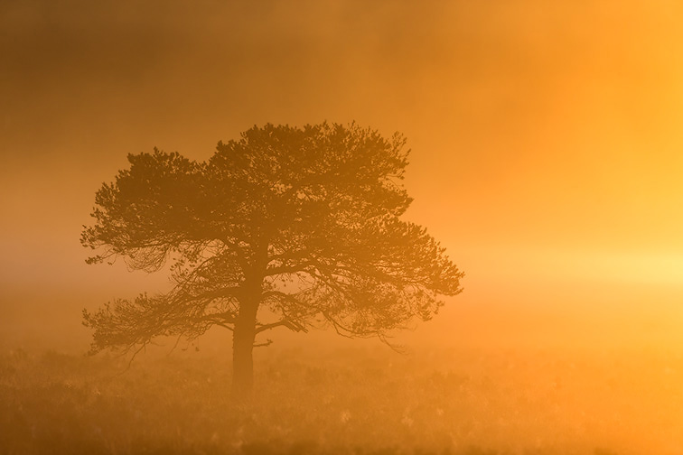 Scots Pine (Pinus sylvestris) silhouetted in mist at sunrise