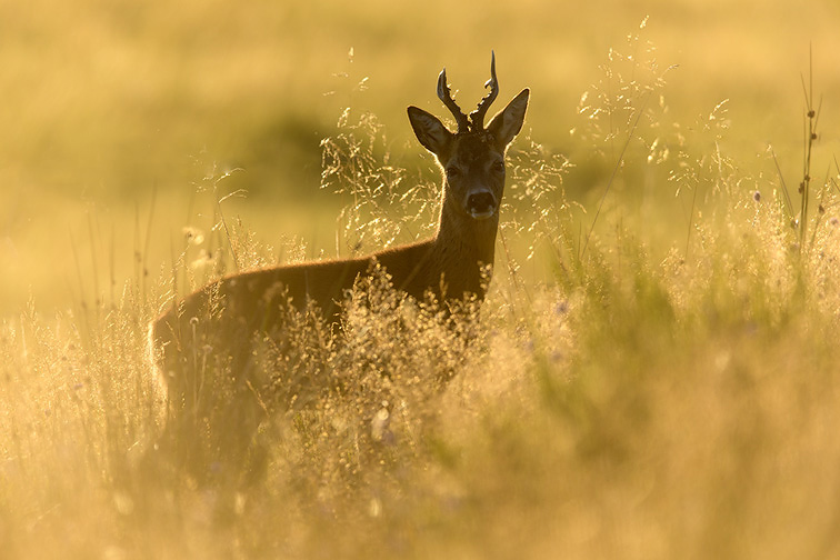 Roe buck (Capreolus capreolus) stood in rough grassland in evening light, Scotland