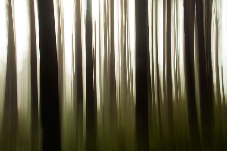 Impression of pine forest, Abernethy Forest, Cairngorms National Park, Scotland