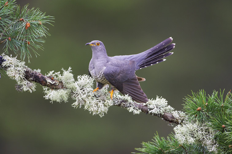 Cuckoo (Cuculus canorus) adult male perched on pine branch. Scotland.