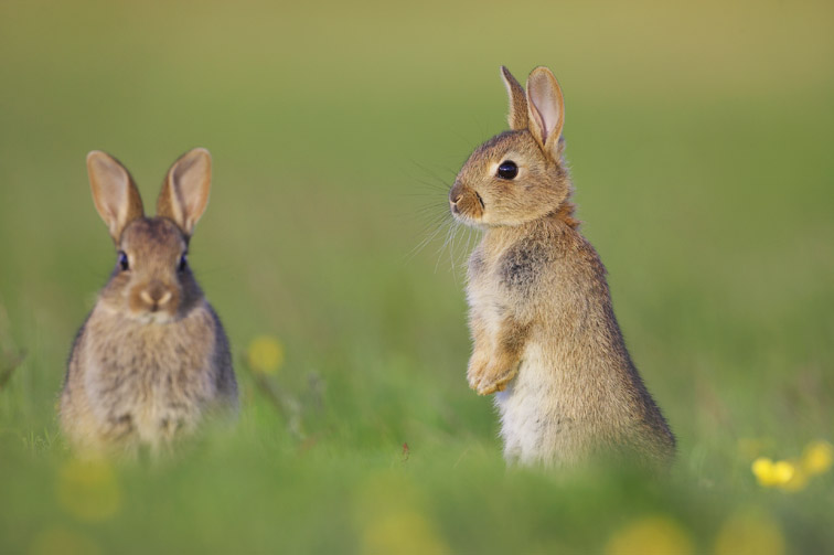 Rabbit (Oryctolagus cuniculus) - youngsters outside burrow, one stood alert. Scotland. July.