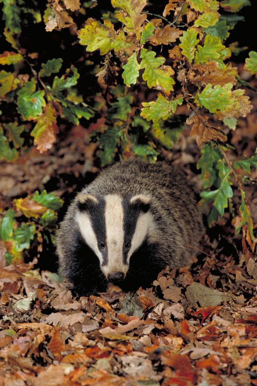 Badger - Meles meles - foraging amongst leaves in autumn woodland. Yorkshire. October.