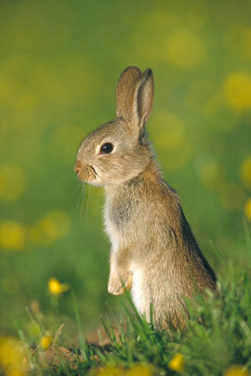 Rabbit - Oryctolagus cuniculus - portrait of youngster in field of buttercups. Derbyshire, UK. June.