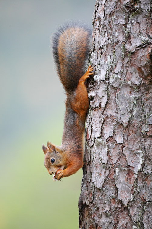 Red Squirrel (Sciurus vulgaris) scaling down pine trunk. Norway. September 2005