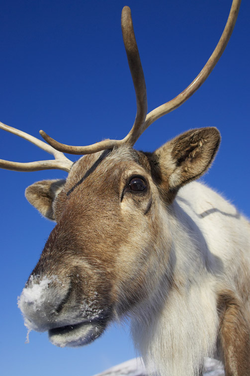 Reindeer (Rangifer tarandus) close-up portrait of female (wide-angle - low viewpoint) in winter. Scotland