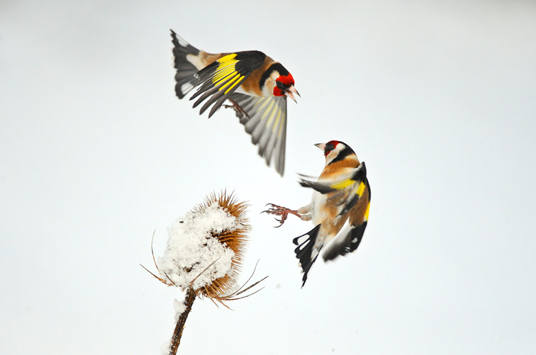 Goldfinch (Carduelis chloris) two squabbling over teasel seeds in winter, Scotland, February