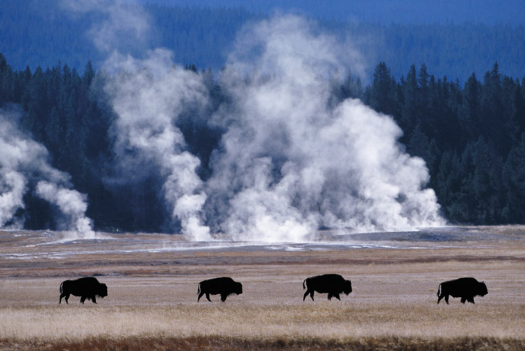 Bison - Bison bison - four walking across meadow near Midway Geyser Basin, Yellowstone National Park. USA. September.