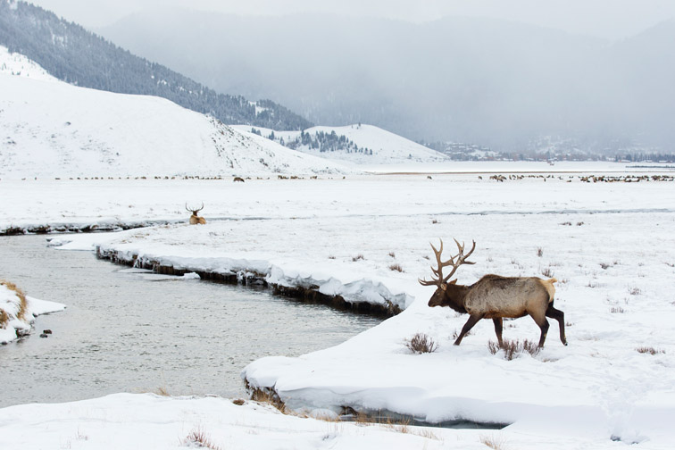 Rocky Mountain Elk, National Elk Refuge, Wyoming, USA