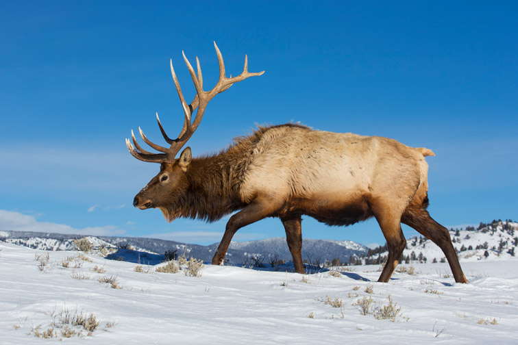 Rocky Mountain Elk, Lamar Valley, Yellowstone National Park, Wyoming, USA