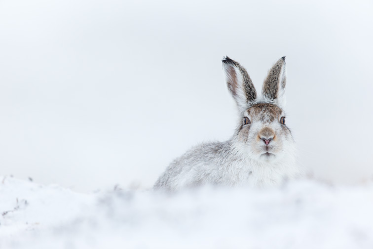 Mountain Hare (Lepus timidus) adult in winter coat sat resting on snowy moorland