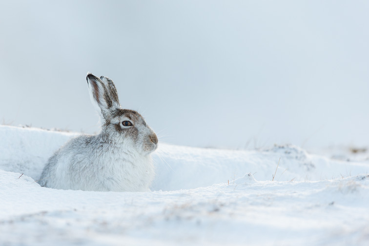 Mountain Hare (Lepus timidus) adult in winter coat sat resting in snow hole