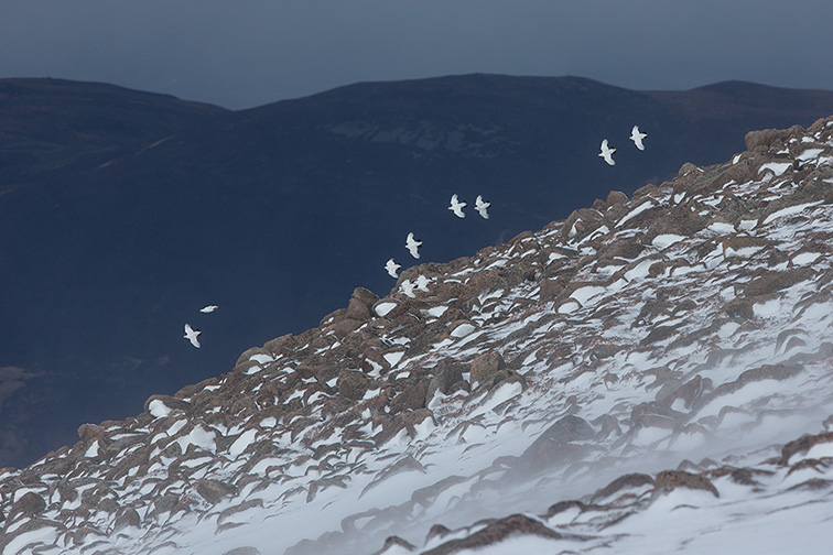 Ptarmigan (Lagopus mutus) small flock in flight in winter landscape