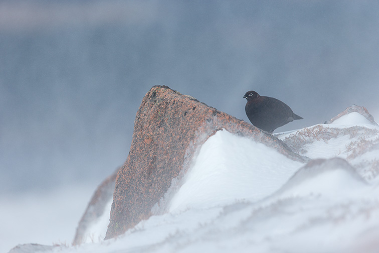 Red Grouse (Lagopus lagopus scoticus) male perched on rock in snow blizzard