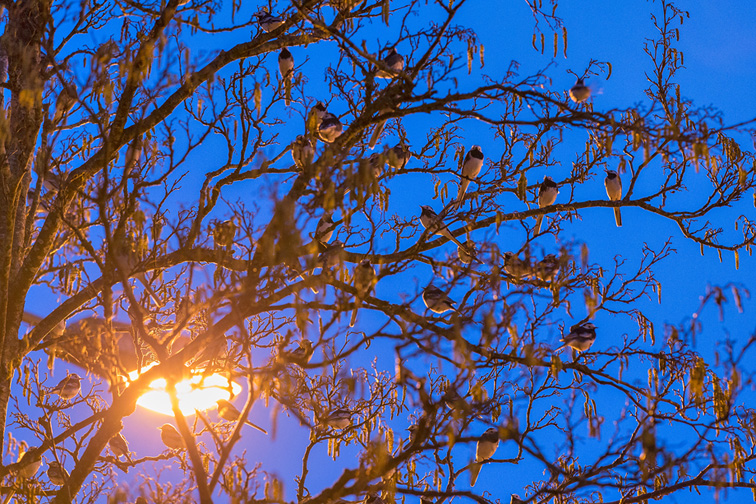 Pied Wagtail (Motacilla alba yarrellii) flock roosting in tree illumintaed by street light