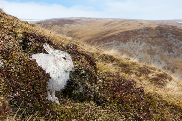Mountain Hare (Lepus timidus) adult in winter coat sat resting in upland habitat