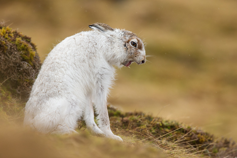 Mountain Hare (Lepus timidus) adult in white winter coat yawning