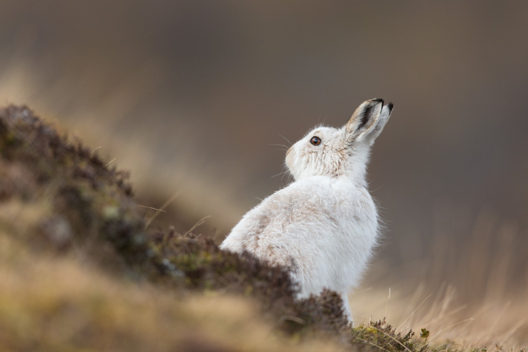 Mountain Hare (Lepus timidus) adult in white winter coat on moorland