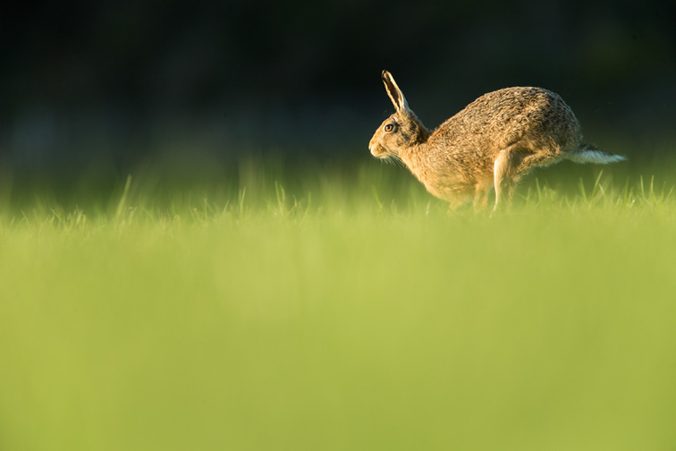 Brown Hare (Lepus capensis) running across field of grass in evening light