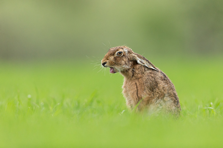 Brown Hare (Lepus capensis) yawning, sitting in field of grass