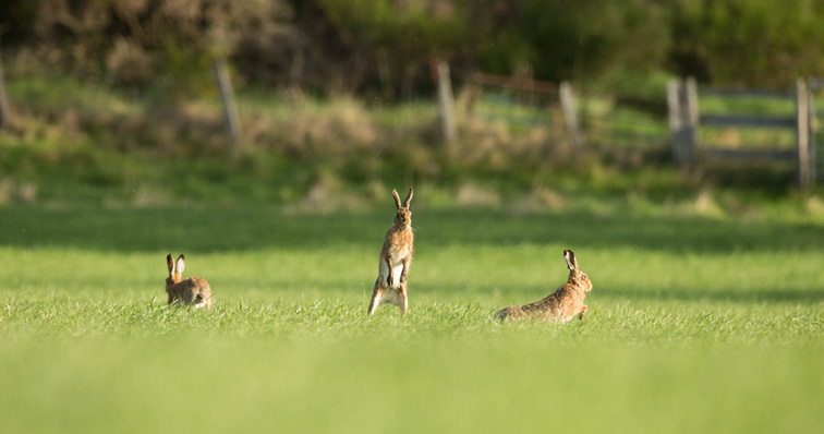 Brown Hare (Lepus capensis) three animals in field engaged in courtship behaviour