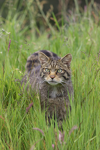 Scottish Wildcat (Felis sylvestris) stalking through grass meadow in summer. Scotland.