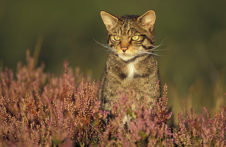 Scottish Wildcat (Felis sylvestris) - portrait of male on heather moorland. Scotland. September