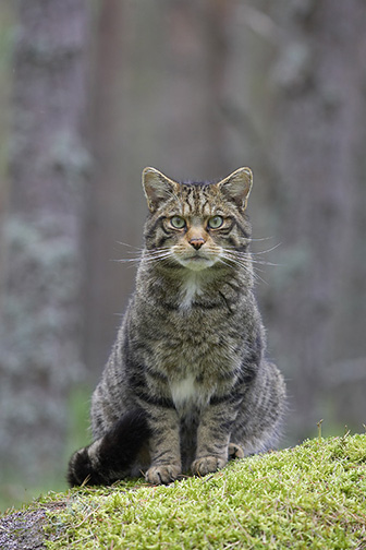 Scottish Wildcat (Felis silvestris) adult in pine forest, Scotland, August