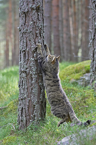 Scottish Wildcat (Felis silvestris) adult male sharpening claws on pine tree, Scotland, August