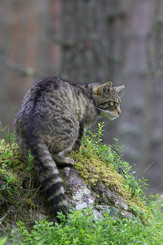 Scottish Wildcat (Felis silvestris) in pine forest. Scotland, July.
