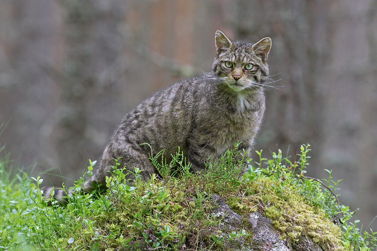 Scottsih Wildcat (Felis silvestris) adult male on moss-covered rock in pine forest. Scotland.